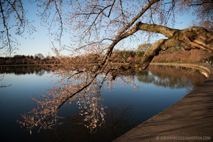 Cherry-Blossoms-Washington-DC-March-18-2016-07-678x453.jpg